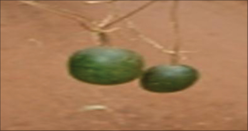 Figure 2: Ripening fruits of melon kernel